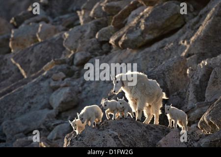 Mountain goat (Oreamnos americanus) nanny and five kids, Mount Evans, Arapaho-Roosevelt National Forest, Colorado, - Stock Photo
