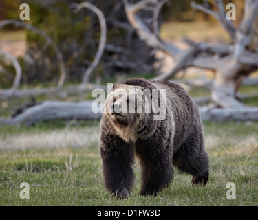 Grizzly bear (Ursus arctos horribilis) walking, Yellowstone National Park, Wyoming, United States of America, North - Stock Photo