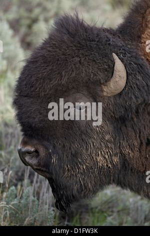 Bison (Bison bison) bull, Yellowstone National Park, Wyoming, United States of America, North America - Stock Photo