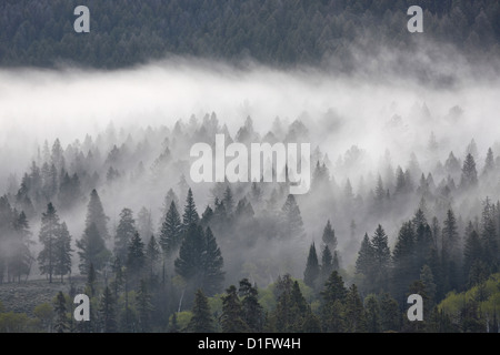 Fog mingling with evergreen trees, Yellowstone National Park, Wyoming, United States of America, North America - Stock Photo
