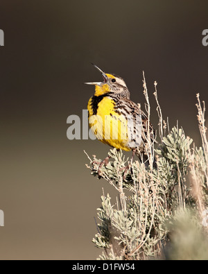 Western meadowlark (Sturnella neglecta) singing, Yellowstone National Park, Wyoming, United States of America, North - Stock Photo