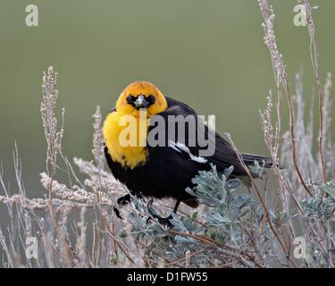 Yellow-headed blackbird (Xanthocephalus xanthocephalus), Yellowstone National Park, Wyoming, United States of America - Stock Photo