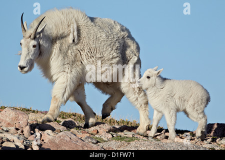 Mountain goat (Oreamnos americanus) nanny and kid, Mount Evans, Arapaho-Roosevelt National Forest, Colorado, USA - Stock Photo