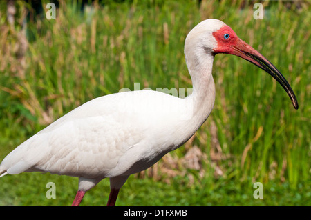 What wading bird has an up-curved bill?