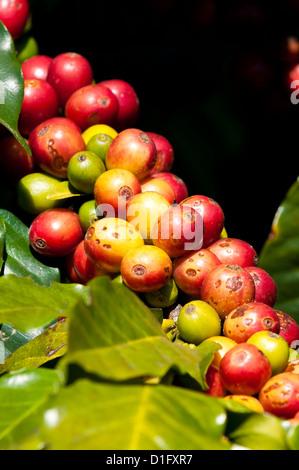 Coffee growing, Santiago Atitlan, Guatemala, Central America - Stock Photo