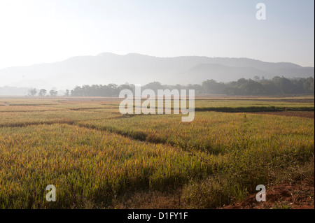 Rice ripening in afternoon light in fields, rural Orissa, India, Asia - Stock Photo