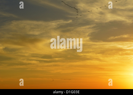 Common crane (Grus grus) Silhouetted at sun-set. - Stock Photo