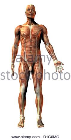 ILLUSTRATION - HUMAN MUSCULATURE - Stock Photo