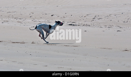 Black and white greyhound, running on beach ona  sunny day. - Stock Photo