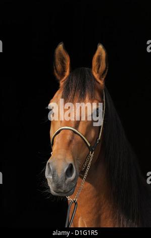 Paso Fino horse - Stock Photo