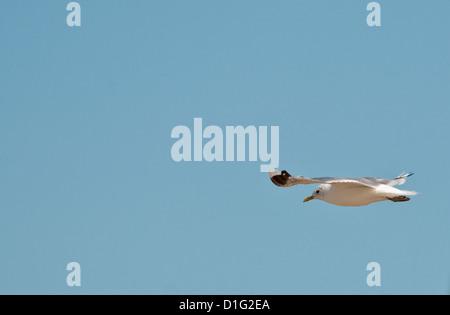 Single seagull, gliding against a blue sky. - Stock Photo