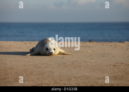 A seal pup on the beach at Winterton, Norfolk, England, United Kingdom, Europe - Stock Photo