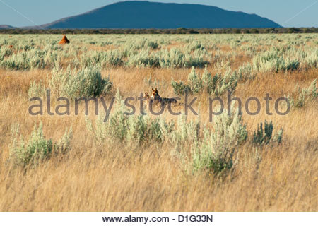 Black-backed jackals (Canis mesomelas) standing in plains, Waterburg Plateau, Namibia, Africa - Stock Photo