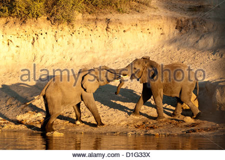 Two African elephants (Loxodonta africana) touching trunks on a riverbank, Chobe River, eastern Caprivi Strip, Namibia, - Stock Photo