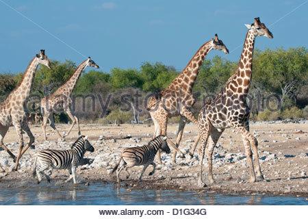 Giraffe (Giraffa camelopardis) and zebras (Equus burchelli) moving away from a waterhole, Etosha National Park, - Stock Photo