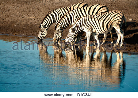 Trio of common zebras (Equus burchelli) at a water hole, Etosha National Park, Namibia, Africa - Stock Photo