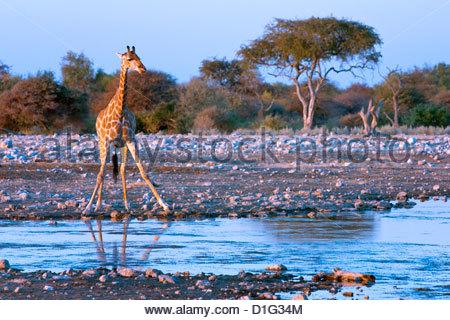 Giraffe (Giraffa camelopardis), Namibia, Africa - Stock Photo