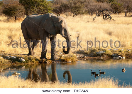 African elephant (Loxodonta africana) at water hole, world's largest land animal, Etosha National Park, Namibia, - Stock Photo