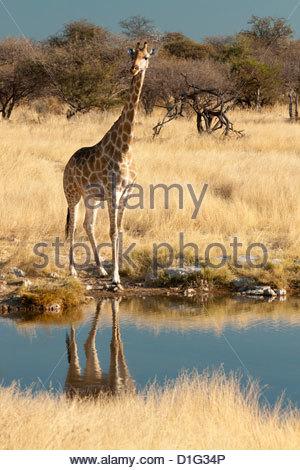 Giraffe (Giraffa camelopardis) at water hole, world's tallest animal, Etosha National Park, Namibia, Africa - Stock Photo
