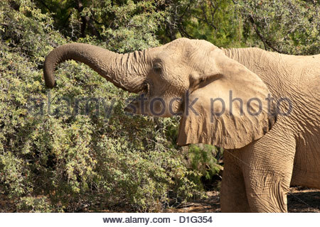 Desert elephant (Loxodonta africana), endemic to Namibia, adapted to desert and river valleys, Kaokoveld, Namibia, - Stock Photo