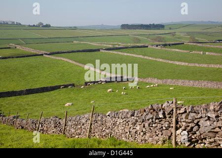 Dry stone walls and sheep, Litton, Derbyshire, England, United Kingdom, Europe - Stock Photo
