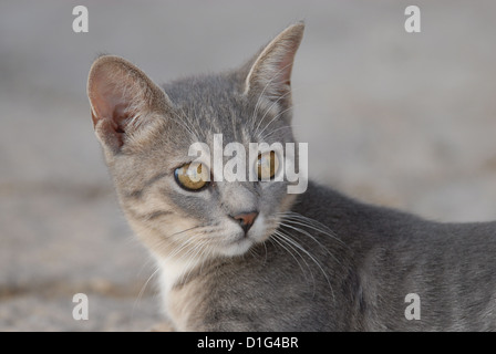 Blue Tortie Tabby and White, portrait, Greece, Dodecanese Island, Non-pedigree Shorthair, felis silvestris forma - Stock Photo