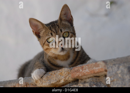 Tabby and White, peering down from a wall, Greece, Dodecanese Island, Non-pedigree Shorthair, felis silvestris forma - Stock Photo