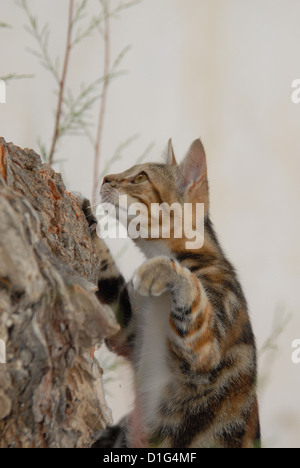 Black Tortie Tabby (Torbie) and White, is climbing up a tree, Greece, Dodecanese Island, Non-pedigree Shorthair, - Stock Photo