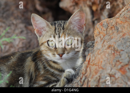 Black Tortie Tabby (Torbie) and White, portrait, Greece, Dodecanese Island, Non-pedigree Shorthair, felis silvestris - Stock Photo