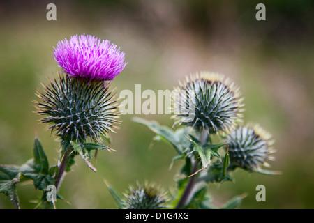 Scottish thistle near Dunnottar Castle, Stonehaven, Aberdeenshire, Scotland, United Kingdom, Europe - Stock Photo