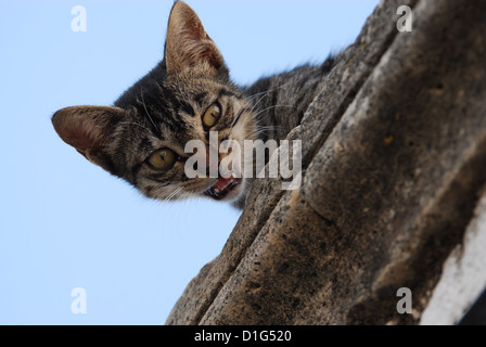 Tabby and White, peering down from a cornice and miaows, Greece, Dodecanese Island, Non-pedigree Shorthair, felis - Stock Photo