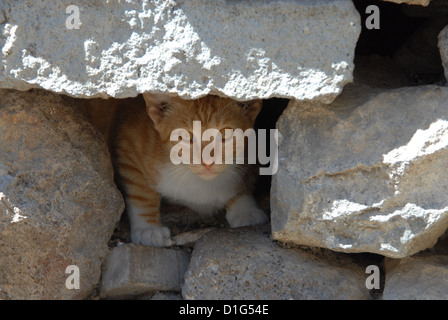 Red Tabby and White, portrait, Greece, Dodecanese Island, Non-pedigree Shorthair, felis silvestris forma catus, domesticus