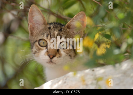 Tabby and White, peering down from a wall, portrait, Greece, Dodecanese Island, Non-pedigree Shorthair, felis silvestris - Stock Photo