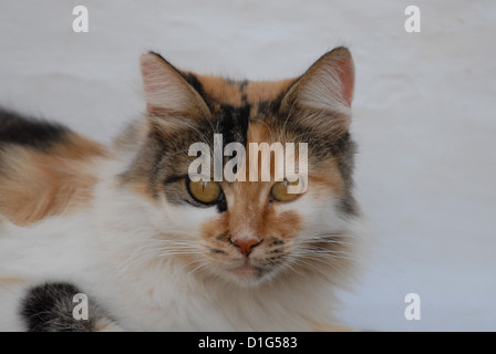 Tortie Tabby and White, portrait, Greece, Dodecanese Island, Non-pedigree, felis silvestris forma catus, domesticus - Stock Photo