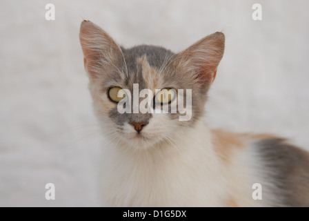 Blue Tortie and White, portrait, Greece, Dodecanese Island, Non-pedigree Shorthair, felis silvestris forma catus, - Stock Photo