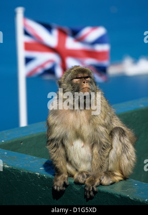 Barbary rock ape at the Top of the Rock, Gibraltar, British overseas territory, Europe - Stock Photo