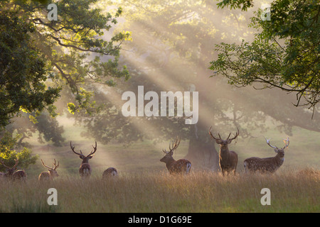 Deer in morning mist, Woburn Abbey Park, Woburn, Bedfordshire, England, United Kingdom, Europe - Stock Photo