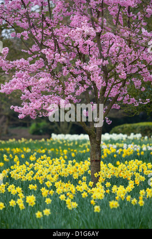 Daffodils and blossom in spring, Hampton, Greater London, England, United Kingdom, Europe - Stock Photo