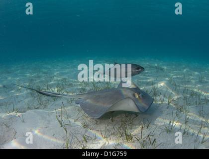 Stingray in White Sand - Stock Photo
