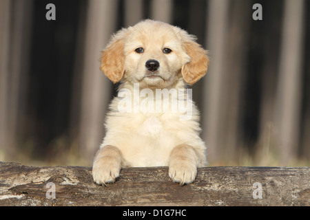 Dog Hovawart puppy puppies pup face portrait stand standing attentive - Stock Photo