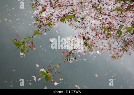 Cherry Blossom in the grounds of the Osaka Castle, Osaka, Japan. - Stock Photo