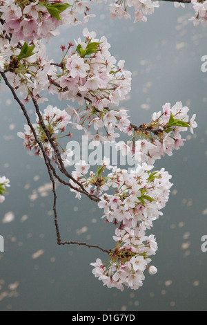 Cherry Blossom in the grounds of the Osaka Castle. - Stock Photo
