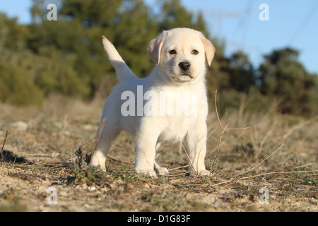 Dog Labrador retriever puppy puppies stand standing yellow - Stock Photo
