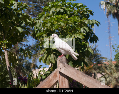 White pigeon on top of remnants of old roman grinding stone in a park in Aguilas, Murcia Spain - Stock Photo
