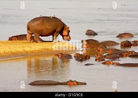 An adult female looking after a creche of baby hippos - Stock Photo