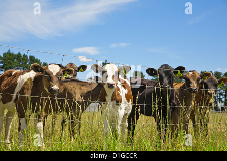 A group of young calves in a field stare inquisitively from behind the fence, Canterbury, South Island, New Zealand. - Stock Photo
