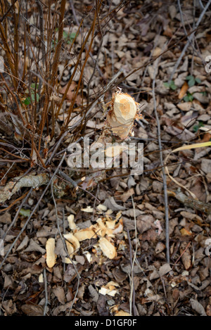 Tree Chewed & Chopped Down By Beaver - Stock Photo