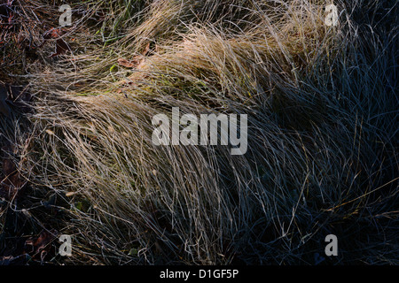 Frost On Long Tall Bent Grass, Early Morning Light - Stock Photo