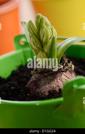 Hyacinth flower bulb in the small green bucket - Stock Photo