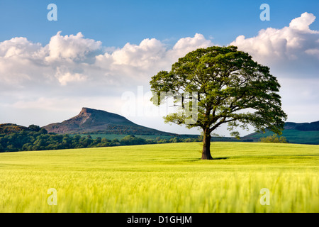 Lone tree in barley field with Roseberry Topping in the distance, North Yorkshire, Yorkshire, England, United Kingdom, - Stock Photo